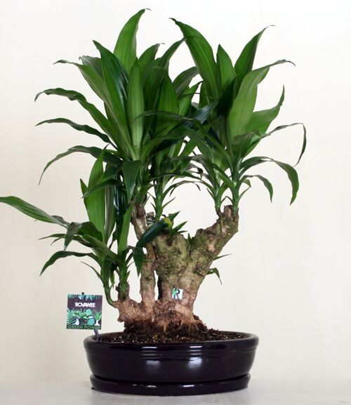 Dropbox - Green Power - Dracaena janet craig.jpg