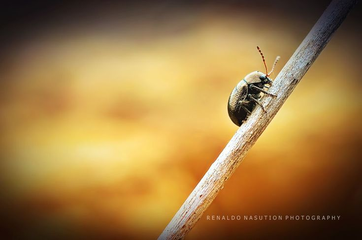 bronzybugs by renaldonasution