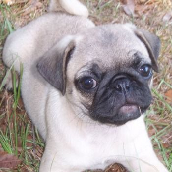 Image Detail for - Pug Puppies, Pug Breeders, Pugs For Sale, Pugs
