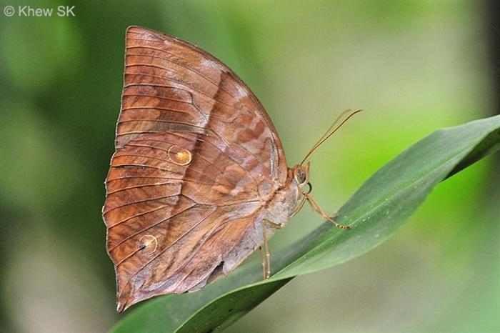 Mariposas  La mariposa Saturno habita las zonas más oscuras de los bosques y las reservas naturales de Singapur. La forma y los colores de esta especie, posibilitan el camuflaje entre la vegetación.