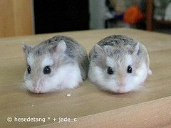 Robo Dwarf Hamster! so cute! (: These look just like our babies!!