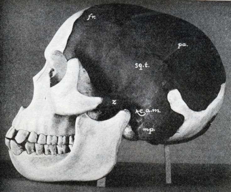 Model of the Piltdown Man's skull as reconstructed by Dr. Smith Woodward. Ann Ronan Pictures/Print Collector/Getty Images