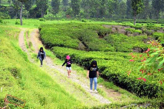"Berjalan di jalur ""tea walk"" #gunungmas #puncak #bogor disela sela pohon teh yang rimbun, sambil menyentuh pucuk pucuk teh kita akan merasakan sensasi tersendiri. http://www.khatulistiwa.info/2012/07/green-family-tea-walk-puncak-bogor.html"