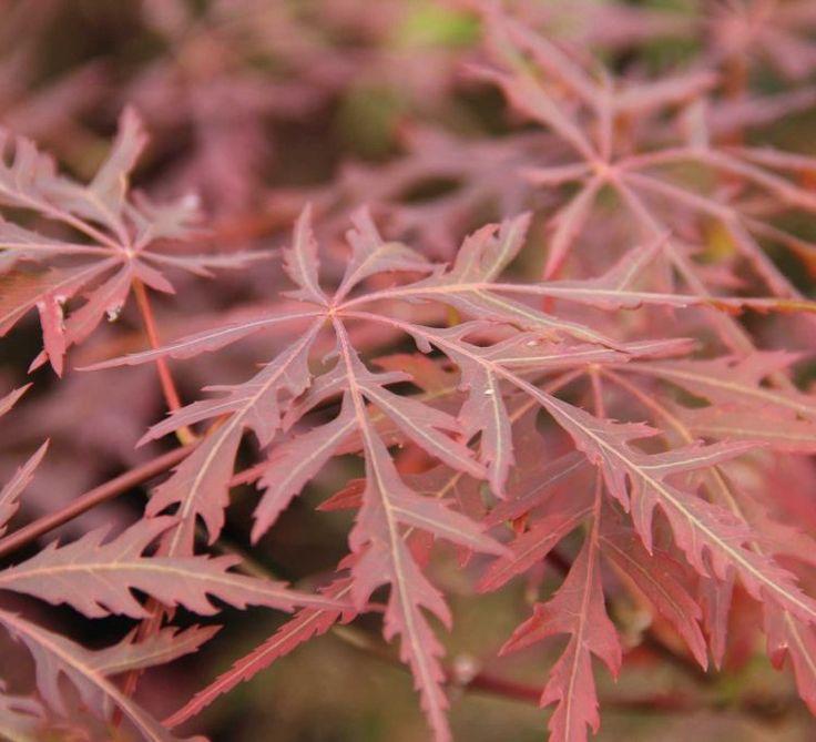 Acer palmatum 'Firecracker' - Maréchal