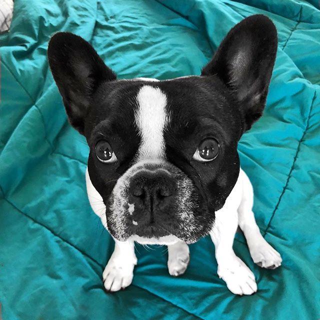 Treat Plz Stella The French Bulldog Sandiegodog