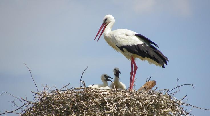 Ooievaar met kroost op nest  #ooievaar #kroost #nest #stork