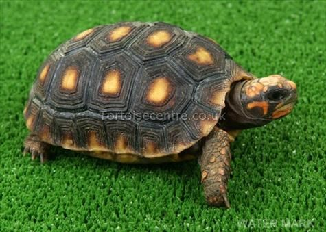 This isn't my tortoise....but he's still cute!:)