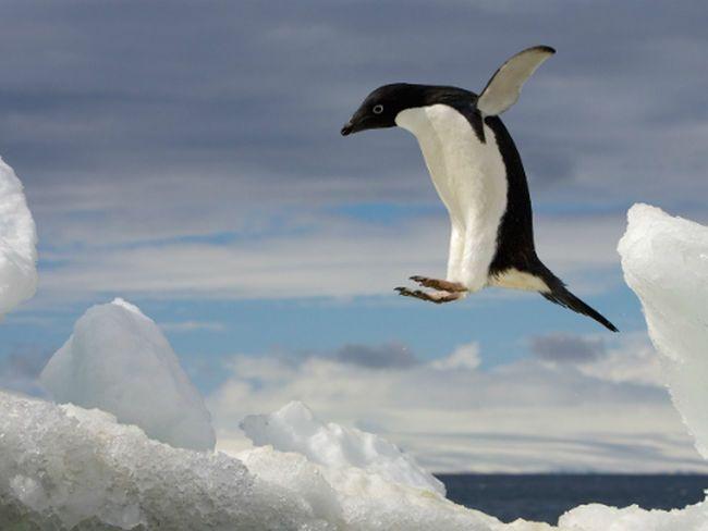 Un estudio señala el rápido declive de la población de pingüinos de la Antártida. Los científicos advierten de que el animal podría desaparecer de aquí a 20 años.
