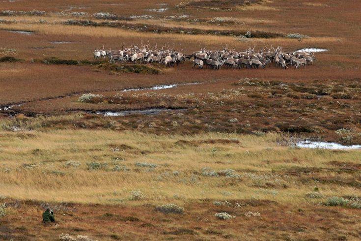 Reindeer, Ringebu - Norway www.inatur.no/storviltjakt/50e58b2be4b053634ccc83d8/villreinjakt-ringebu-fjellstyre   Inatur.no