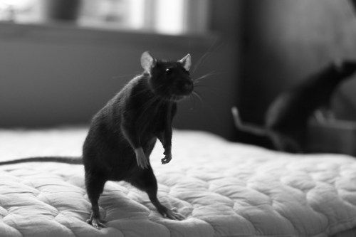 Tina's favourite.A Black Rat standing on a bed and looking around!