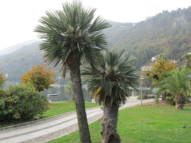Trithrinax campestris in Riva al Lago