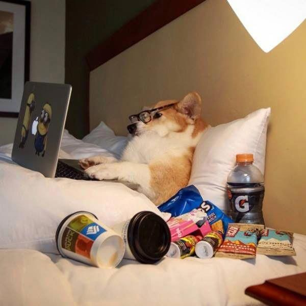 31 Funny Pics Memes Dog Person On Laptop In Bed Dog Quotes Funny Funny Animal Pictures Funny Dog Pictures