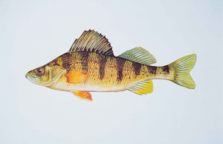 Yellow perch fish perca flavescens