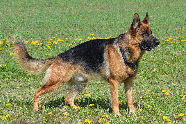Types of German Shepherds: German Shepherd Dog Varieties Guide