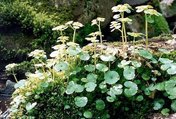 Chrysosplenium alternifolium, Mokrýš střídavolistý