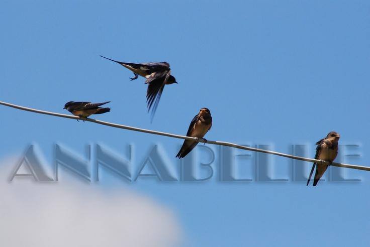 Barn Swallow's test flight