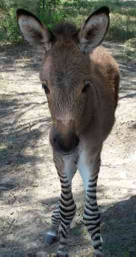 My life goal is to get a Zonkey!!!