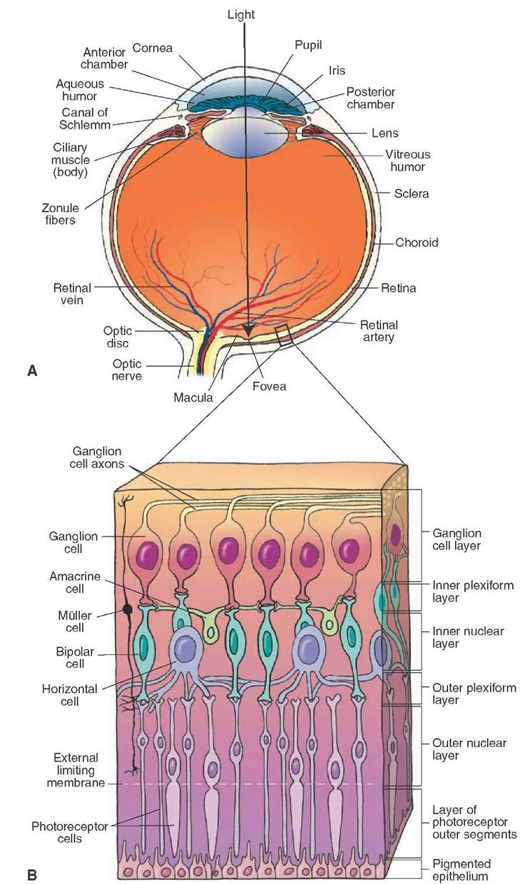 Structure of the eye and retina. (A) Different components of the eye. (B) Different layers of the human retina.