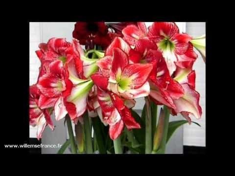 17 best images about plantes willemse en vid o on for Willemse fleurs