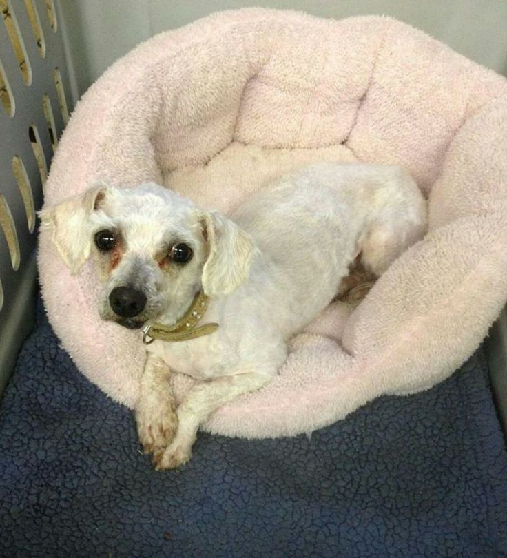 """Meet Ruby--FEE REDUCED a Petfinder adoptable Maltese Dog 