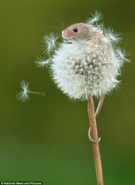 ~~Harvest mouse using its prehensile tail as an anchor as it climbs up a dandelion | at the British Wildlife Centre in Lingfield, Surrey | by Matt Binstead~~