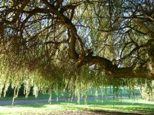 Willow Tree Wander