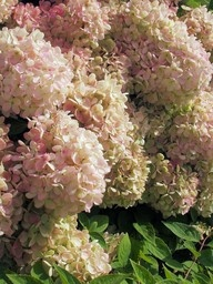 Pink hydrangea with green tinges