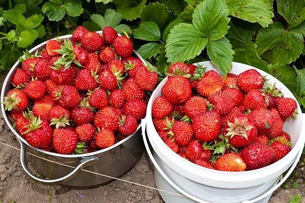 Подкормка клубники для впечатляющего урожая | 6 соток