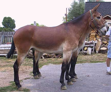 draft mules- love these big creatures.