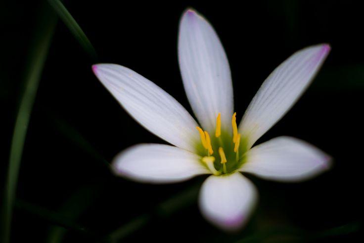 https://flic.kr/p/zhCGtS | White rain lily - Autumn flowers | タマスダレ - 秋の花 Taken in riverside of Arakawa.