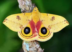 Butterflies get all the glory in the bug world. But moths are far from being the ugly step-sisters. Check out these gorgeous winged moths and their flamboyant coloration.