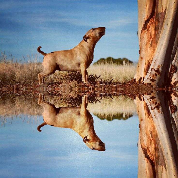 Bull Terrier Treats