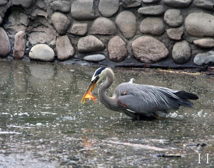 Colorado Springs - Colorado - Blue Heron Hunting (Goldfish)