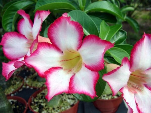 40F. Desert Rose, adenium obesum. I have plant with pink/orange flowers/from Chinatown in L.A. native to hot/humid climates of Arabia & Africa.