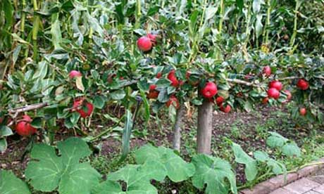 How to grow fruit in a small space. Have fruit and a tidy garden!