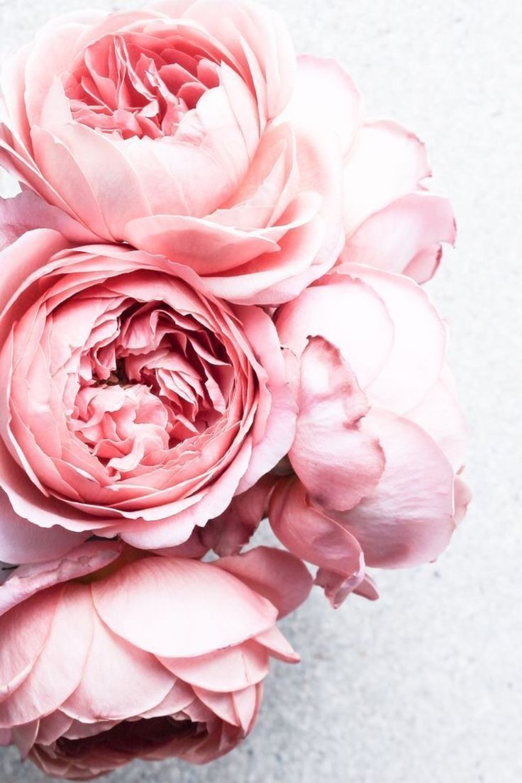 Pink Peonies Fleurs Flowers