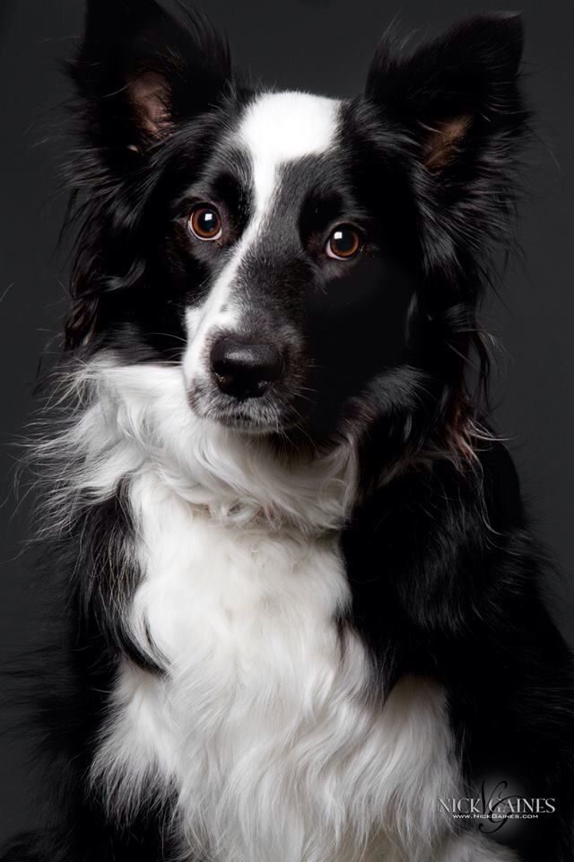 Black and white border collie | Dogs Rule | Pinterest