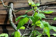 Are You Sure You Know What Poison Ivy Looks Like?: Poison Ivy Pictures