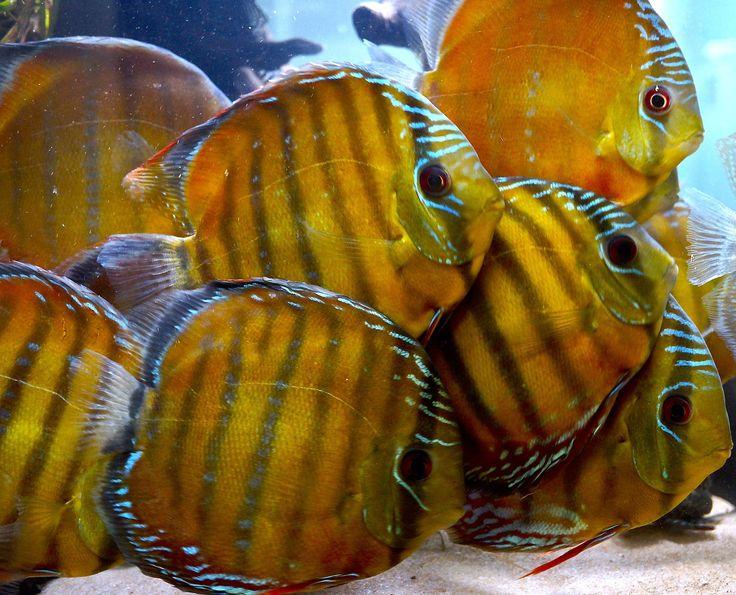 35 best the beautiful discus fish aquarium lifestyle for Best place to buy discus fish