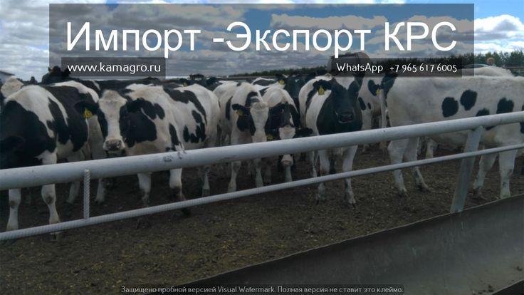 Заключаем договора на покупку КРС! Продажа КРС оптовые цены! http://www.kamagro.com/  Наши контакты ООО КамАгро - поставщик КРС по РФ и СНГ :  -Сайт : www.kamagro.ru  -WhatsApp :  +7 (965) 6176005 -Skype :  hfbkmm -Viber : +7 (965) 6176005 Мы занимаемся продажей  племенных пород КРС  и продажей  товарных пород КРС  живым весом ! За 5 лет было реализовано более 150 000 голов крупно рогатого скота по Россий и СНГ! С нами сотрудничают более 1500 фермеров и агрофирм. Так же у нас открыты…