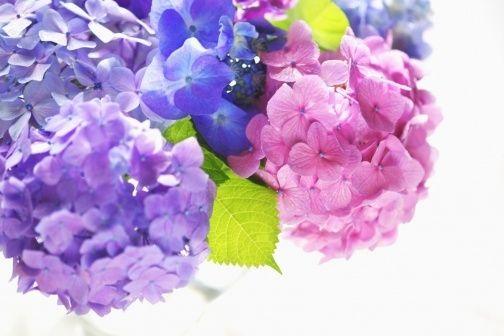 Záhonové i nádobové hortenzie mají podobné nároky. Pokud nekvetou, bývá příčinou pěstitelská chyba. Podívejte se na jejich přehled a zjistěte, co vaší rostlině pomůže.
