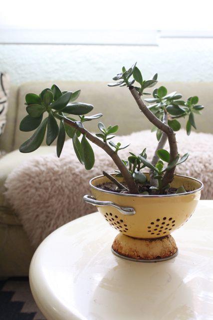 Les succulents dans une passoire