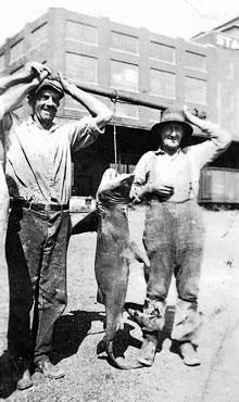 Bull shark caught in Alton, IL in 1937. Commercials Fishermen, 84 Lb Bull, Fish Envy, Fish Marketing, Alton Illinois, 1937, Sharks Caught, Bull Sharks, Enter Illinois