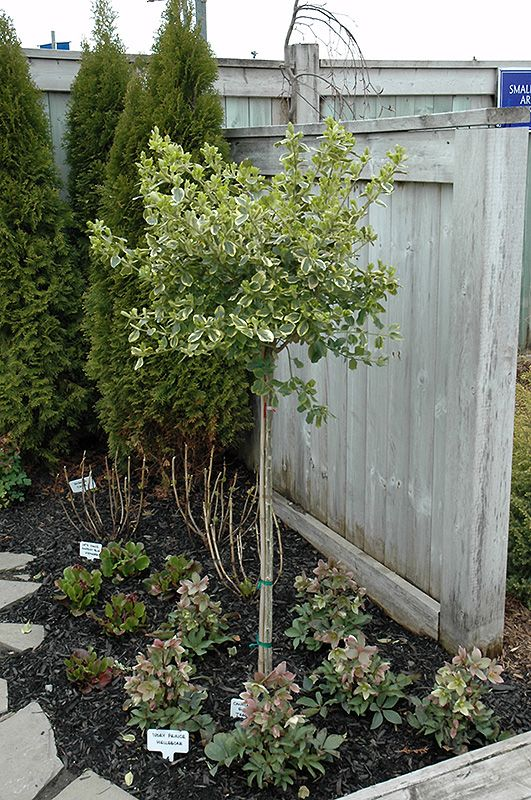 199 best EasyGreen Euonymus images on Pinterest Plants Balcony