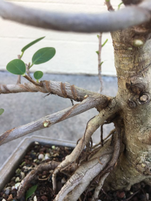 Cool Your Tree Will Recover From Training Wire Scars Like These This Wiring 101 Akebretraxxcnl