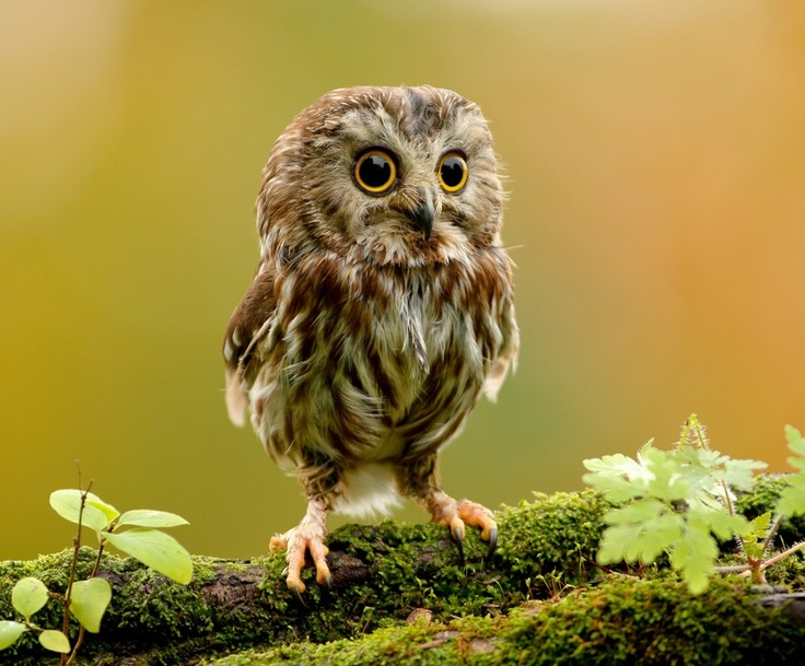 Little owl ? so Baby Animals cute baby Animals| http://cute-baby-animals-593.blogspot.com