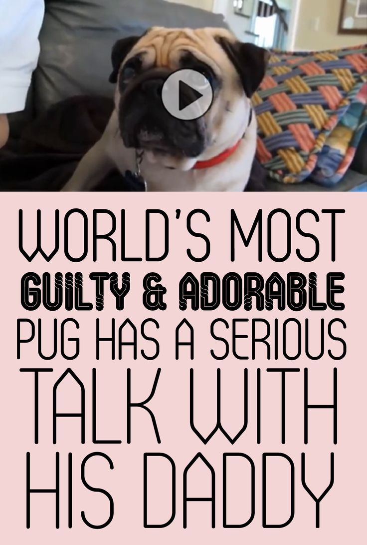 World's most guilty & adorable pug has a serious talk with his daddy!