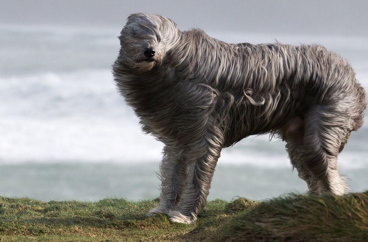 Бородатый колли Бруно прогуливается на ветру в Ньюквее, Корнуолл, Англия.