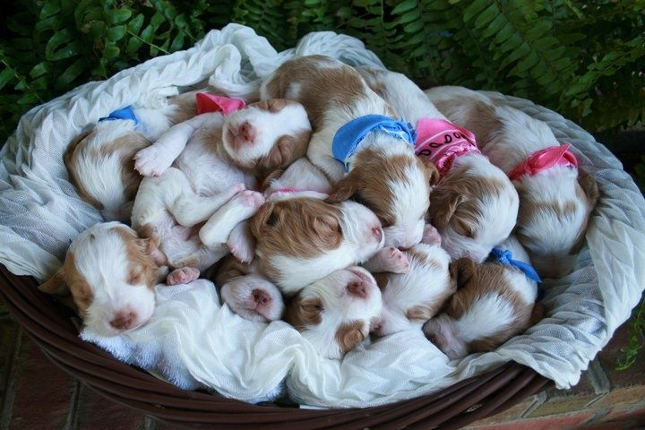 brittany spaniel pups - Google Search