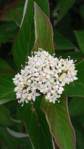 흰말채나무 꽃 #korea #hanbros